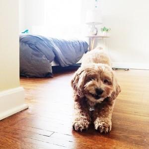 Downward dog and pre-yawn. #deshlife #cockapoo